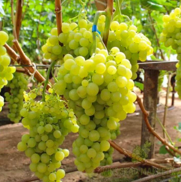 Сорт винограда, который ел Иисус Христос